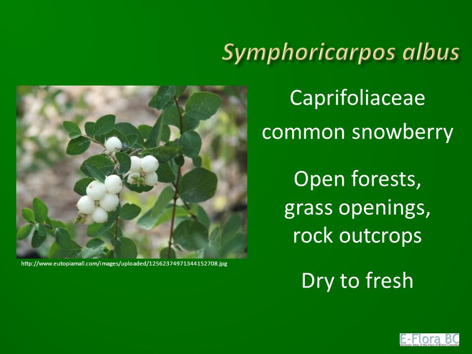 Caprifoliaceae common snowberry Open forests, grass openings, rock outcrops Dry to fresh http://www.eutopiamall.com/images/uploaded/125623749713441527