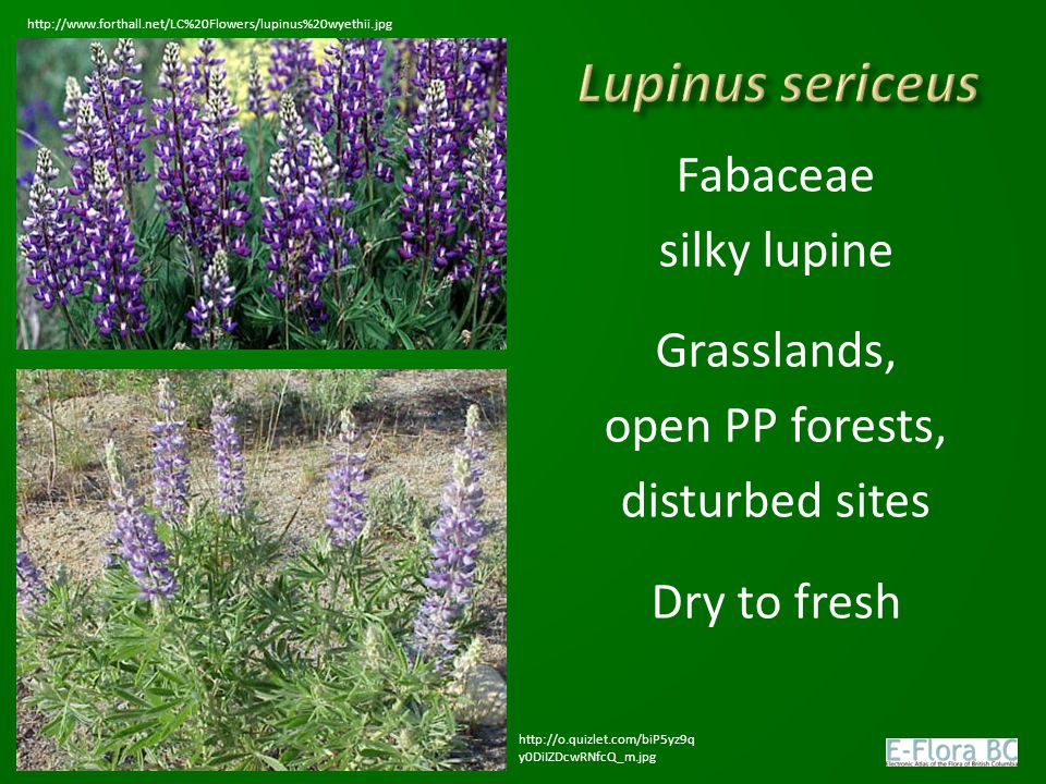 Fabaceae silky lupine Grasslands, open PP forests, disturbed sites Dry to fresh http://www.forthall.net/LC%20Flowers/lupinus%20wyethii.jpg http://o.qu