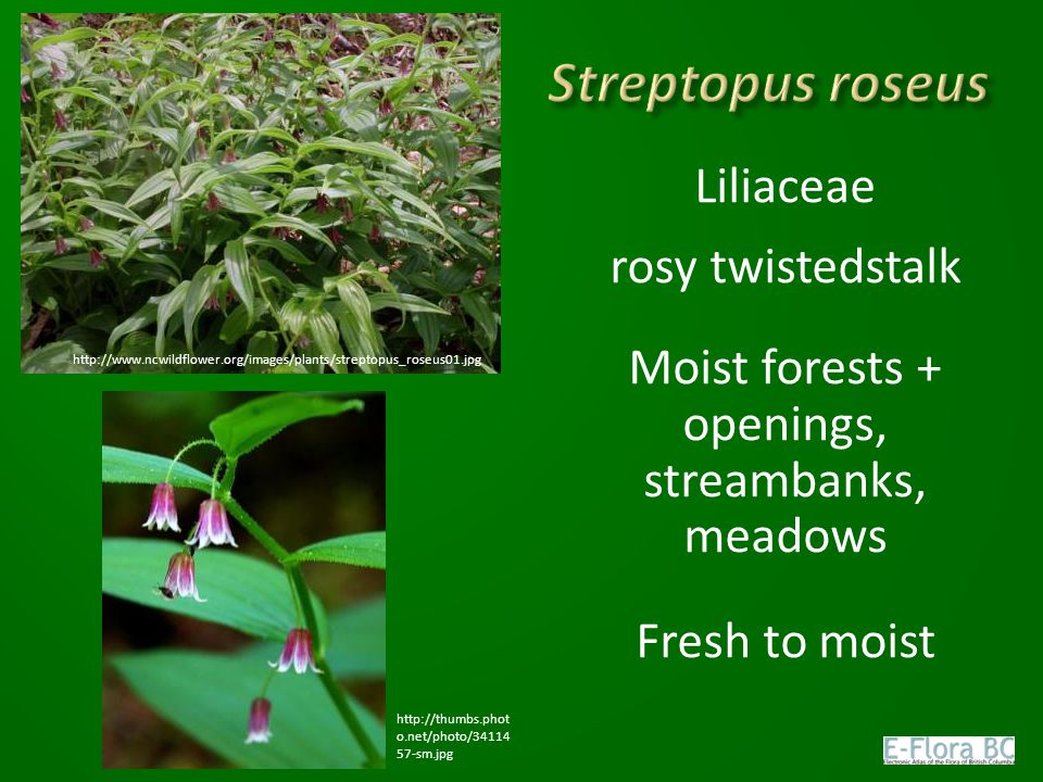 Liliaceae rosy twistedstalk Moist forests + openings, streambanks, meadows Fresh to moist http://www.ncwildflower.org/images/plants/streptopus_roseus0