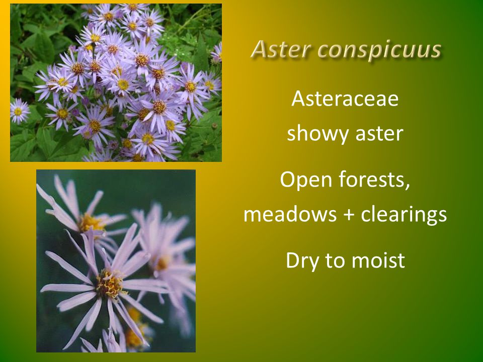 Asteraceae showy aster Open forests, meadows + clearings Dry to moist