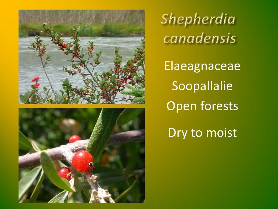 Elaeagnaceae Soopallalie Open forests Dry to moist
