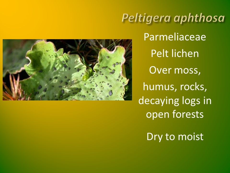 Parmeliaceae Pelt lichen Over moss, humus, rocks, decaying logs in open forests Dry to moist