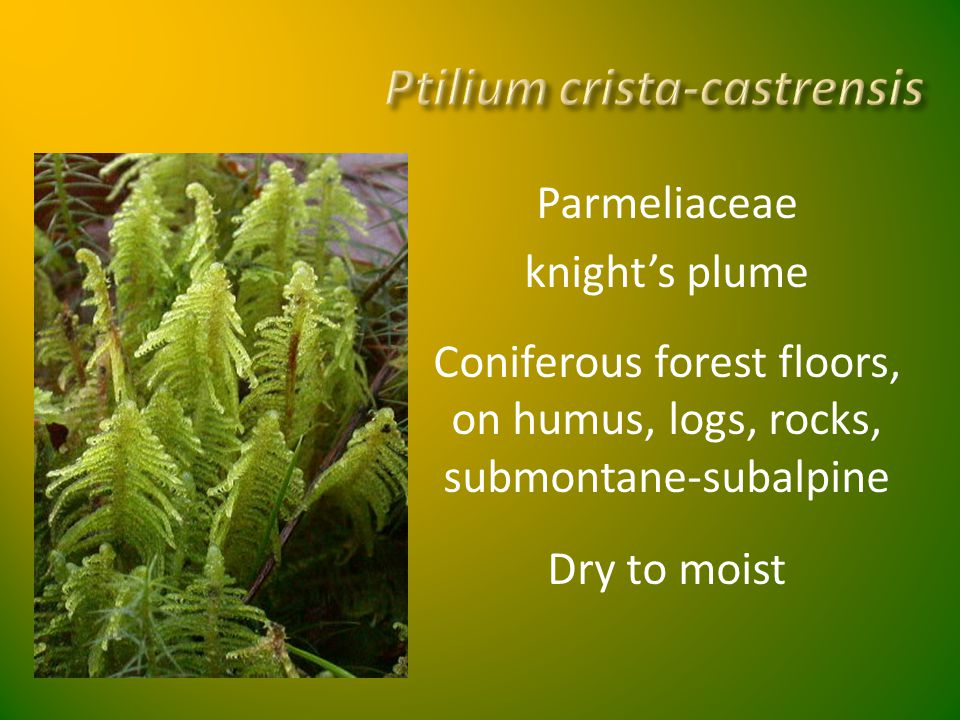 Parmeliaceae knight's plume Coniferous forest floors, on humus, logs, rocks, submontane-subalpine Dry to moist