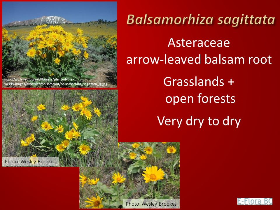 Asteraceae arrow-leaved balsam root Grasslands + open forests Very dry to dry Photo: Wesley Brookes http://gis.fs.fed.us/wildflowers/plant-of-the- wee