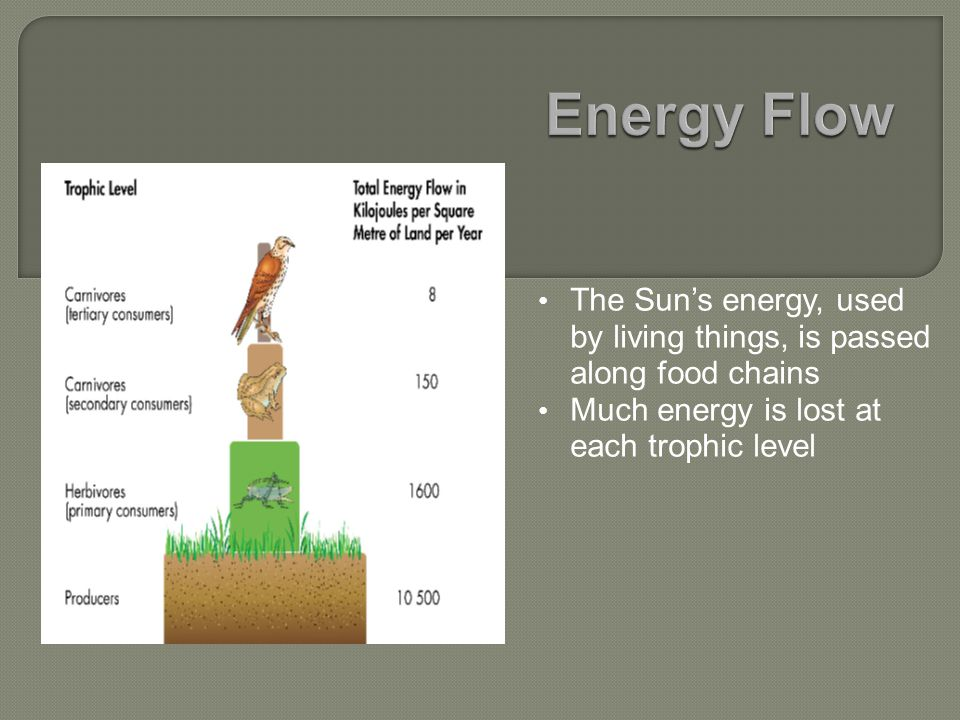 The Sun's energy, used by living things, is passed along food chains Much energy is lost at each trophic level