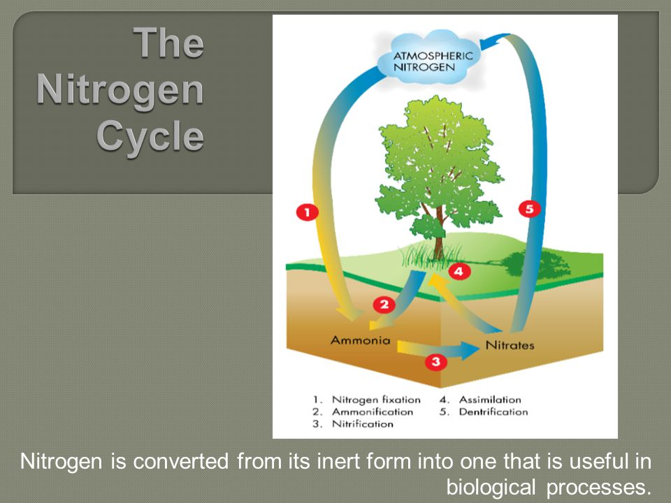 Nitrogen is converted from its inert form into one that is useful in biological processes.