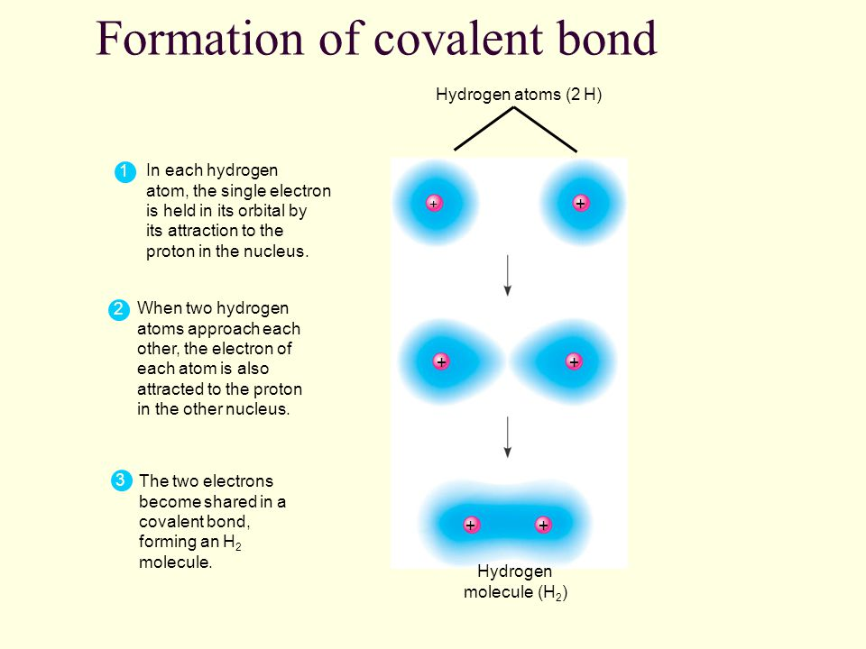 Formation of covalent bond Hydrogen atoms (2 H) Hydrogen molecule (H 2 ) 1 In each hydrogen atom, the single electron is held in its orbital by its attraction to the proton in the nucleus.