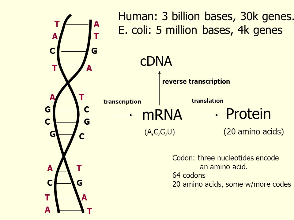 AT TA C C C C G G G G G T T T A A A A T C AT mRNA Protein transcription translation Human: 3 billion bases, 30k genes.