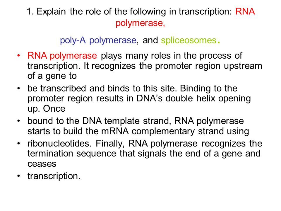 1. Explain the role of the following in transcription: RNA polymerase, poly-A polymerase, and spliceosomes. RNA polymerase plays many roles in the pro