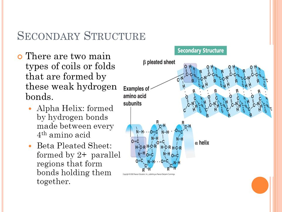 S ECONDARY S TRUCTURE There are two main types of coils or folds that are formed by these weak hydrogen bonds.