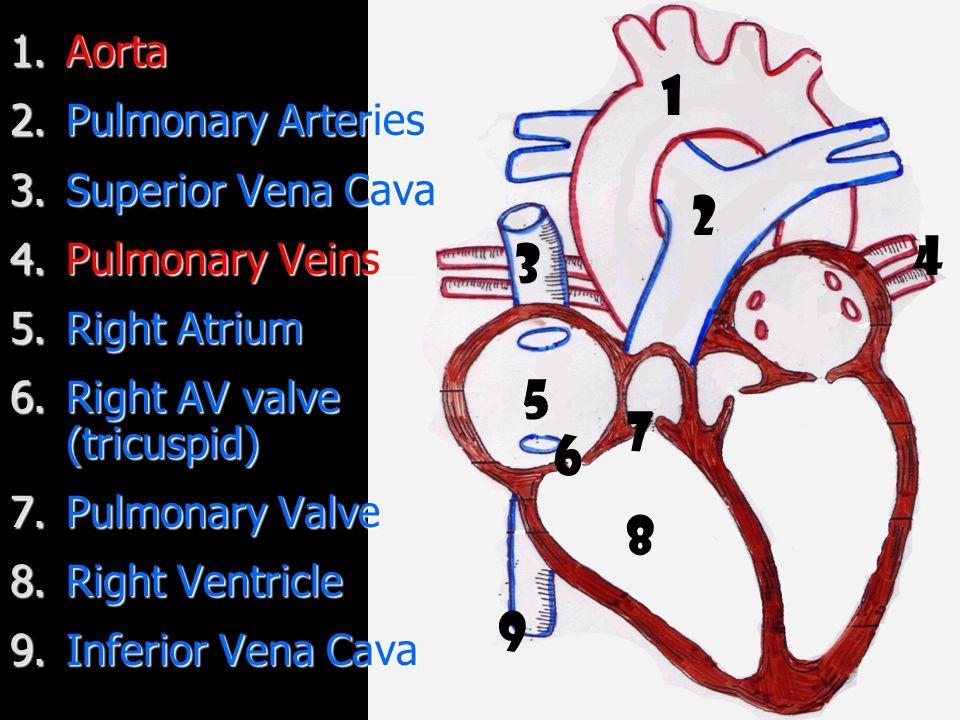 1.Aorta 2.Pulmonary Arteries 3.Superior Vena Cava 4.Pulmonary Veins 5.Right Atrium 6.Right AV valve (tricuspid) 7.Pulmonary Valve 8.Right Ventricle 9.