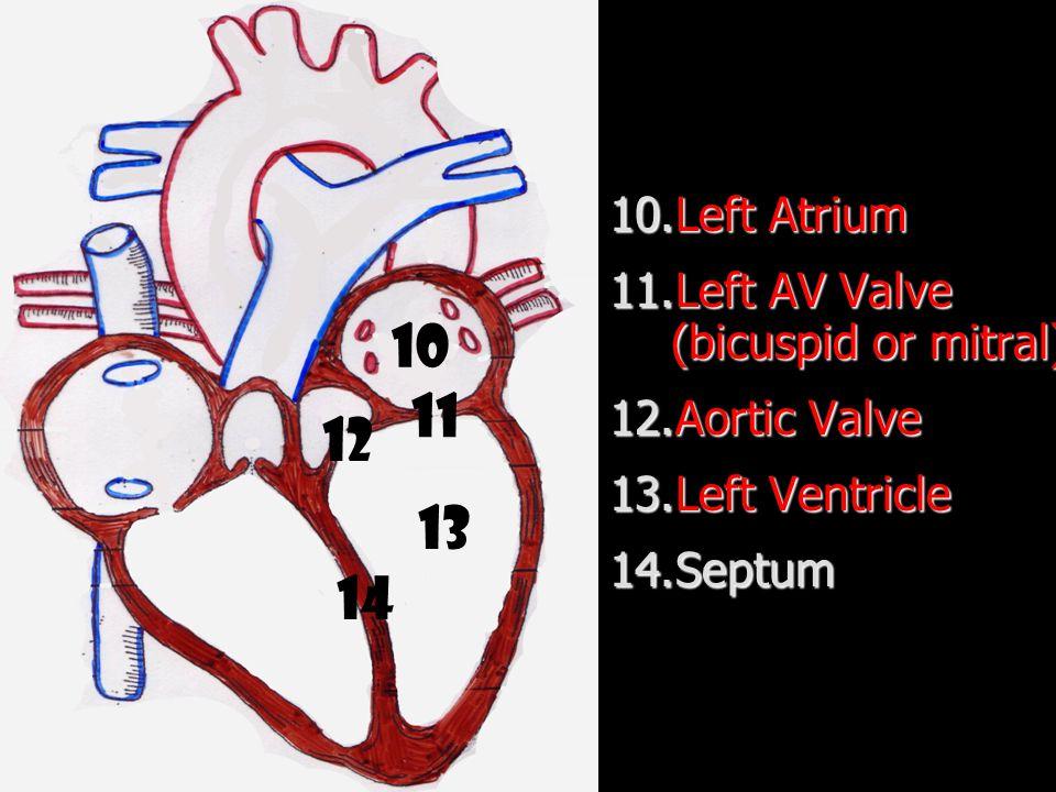 10.Left Atrium 11.Left AV Valve (bicuspid or mitral) 12.Aortic Valve 13.Left Ventricle 14.Septum 10 11 12 13 14
