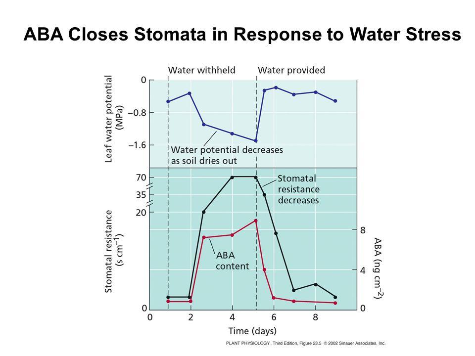 ABA Closes Stomata in Response to Water Stress