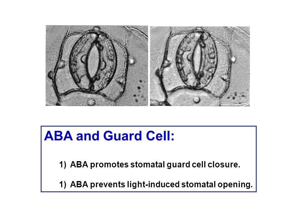 ABA and Guard Cell: 1)ABA promotes stomatal guard cell closure. 1)ABA prevents light-induced stomatal opening.