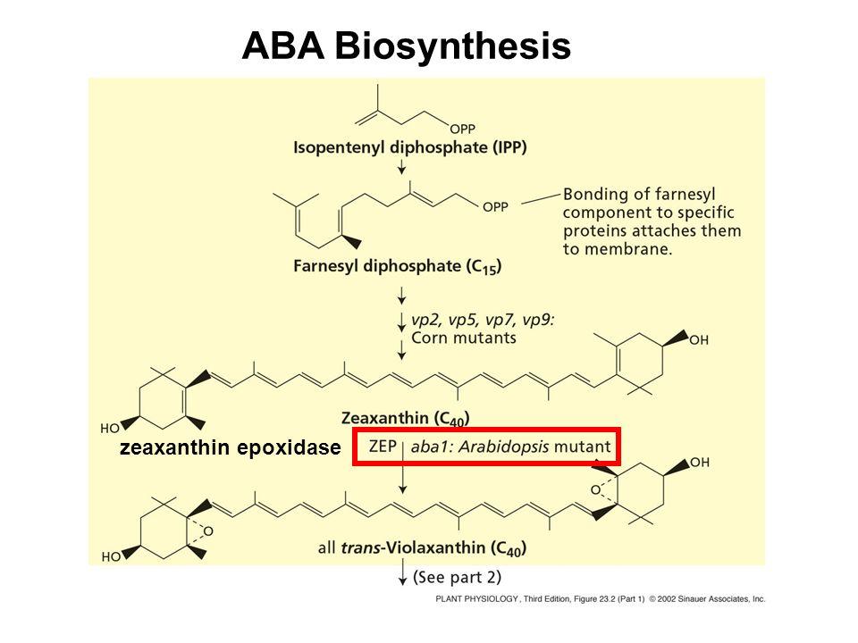 ABA Biosynthesis zeaxanthin epoxidase