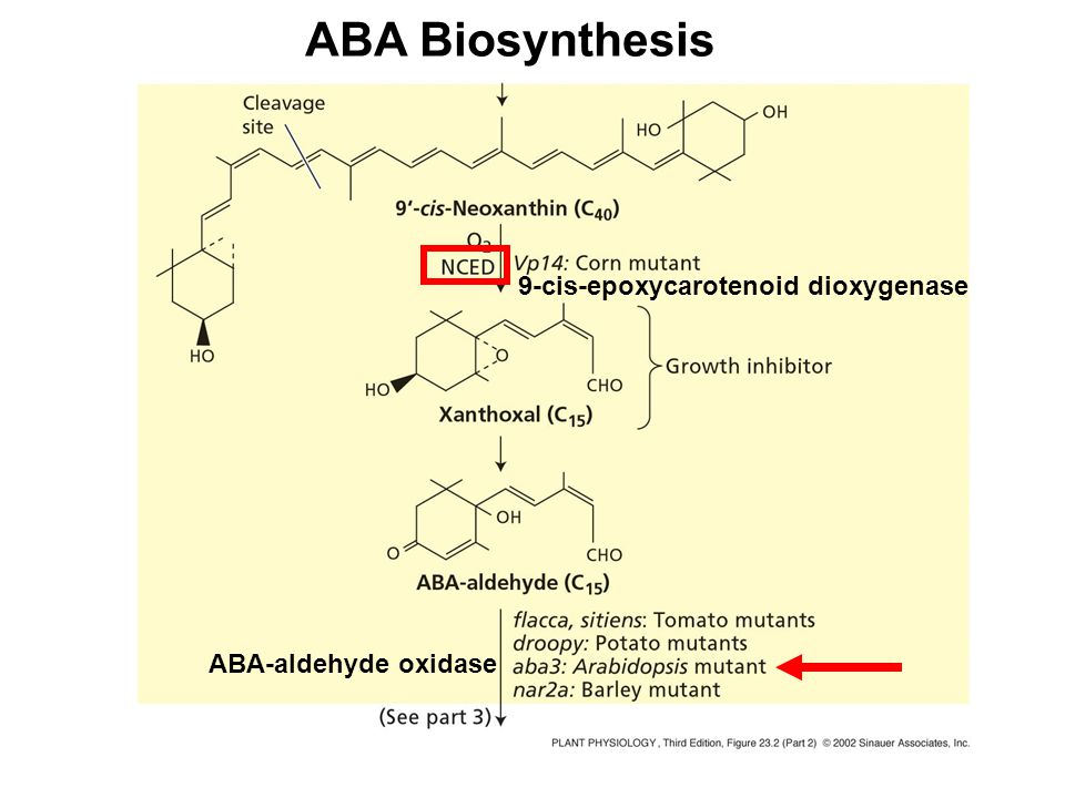 ABA Biosynthesis 9-cis-epoxycarotenoid dioxygenase ABA-aldehyde oxidase