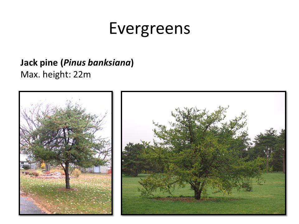 Evergreens Jack pine (Pinus banksiana) Max. height: 22m