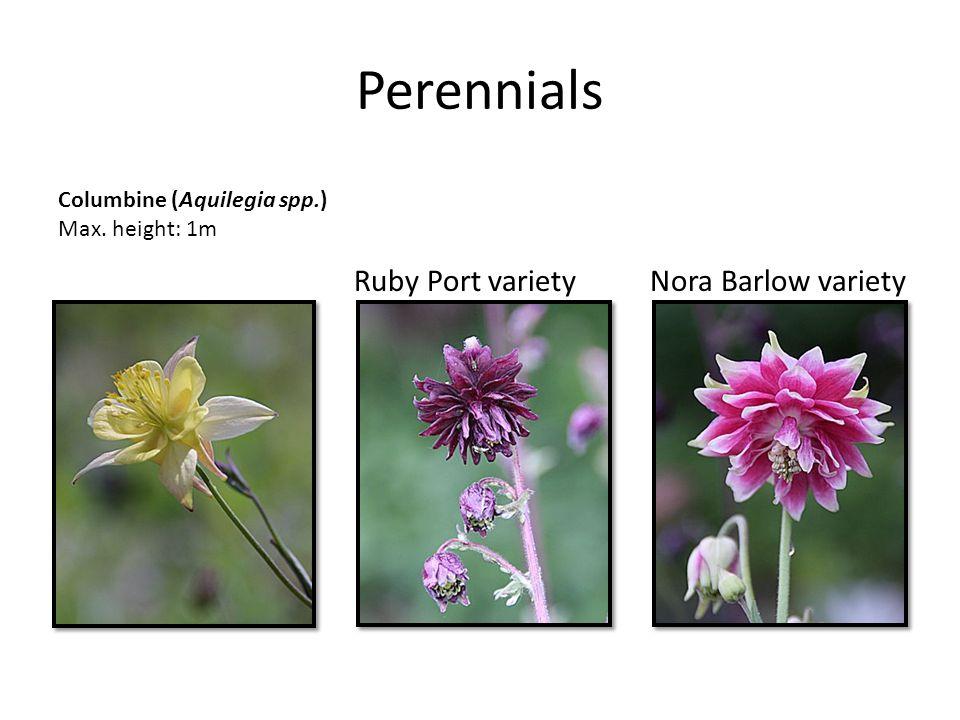 Perennials Columbine (Aquilegia spp.) Max. height: 1m Nora Barlow varietyRuby Port variety