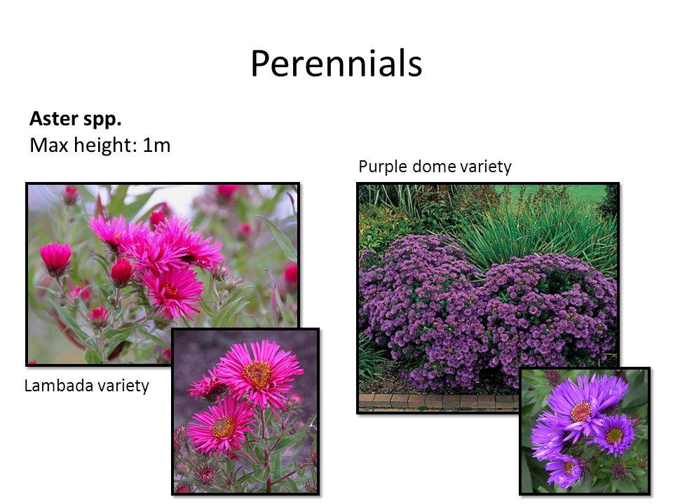 Perennials Aster spp. Max height: 1m Purple dome variety Lambada variety