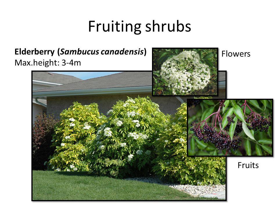 Fruiting shrubs Elderberry (Sambucus canadensis) Max.height: 3-4m Flowers Fruits