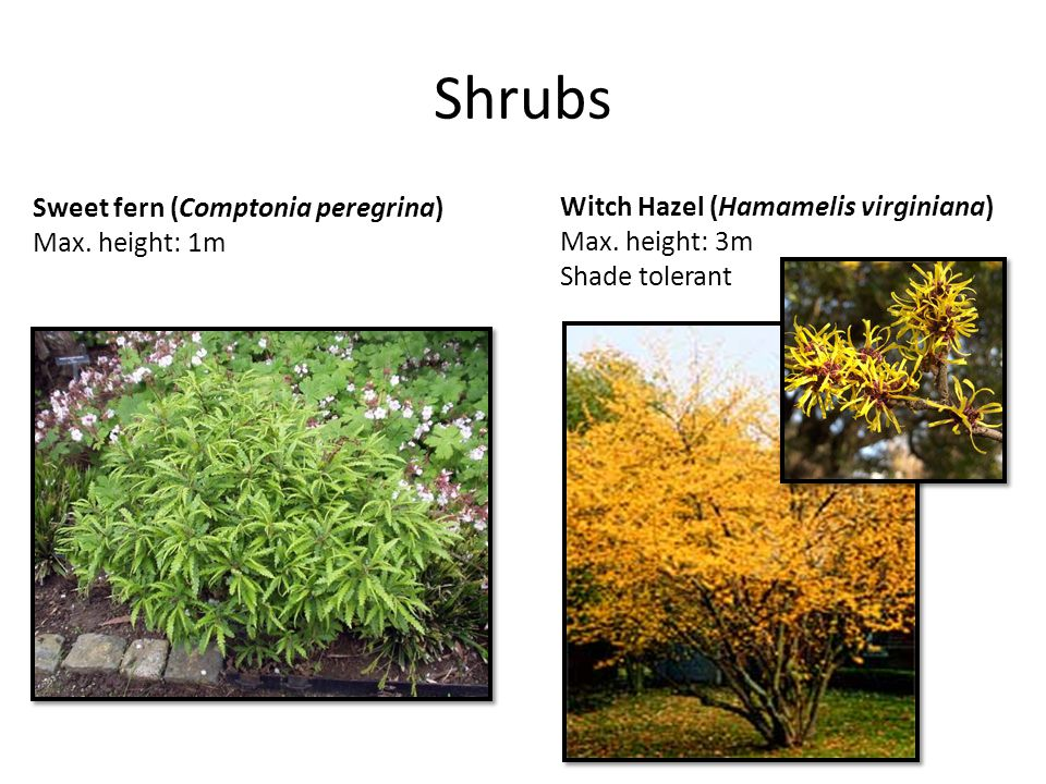 Shrubs Sweet fern (Comptonia peregrina) Max. height: 1m Witch Hazel (Hamamelis virginiana) Max. height: 3m Shade tolerant