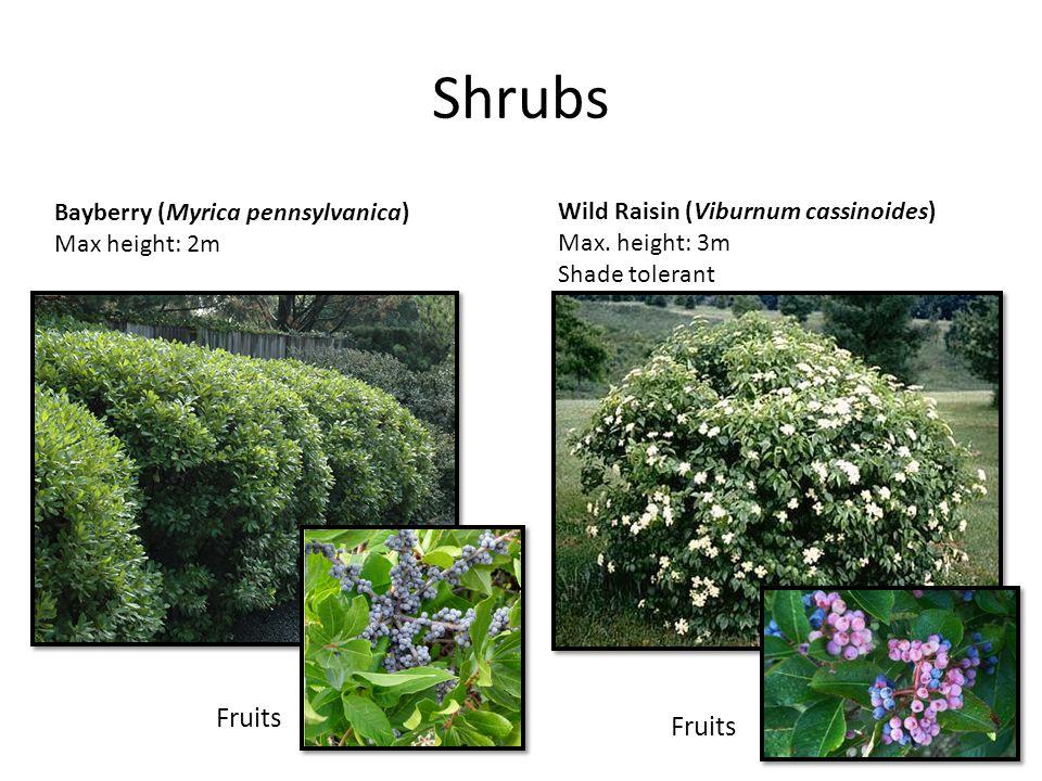 Shrubs Bayberry (Myrica pennsylvanica) Max height: 2m Wild Raisin (Viburnum cassinoides) Max. height: 3m Shade tolerant Fruits