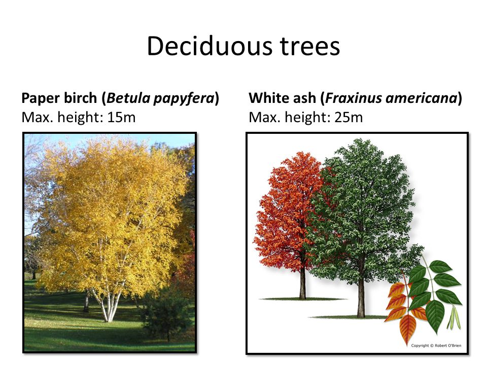 Deciduous trees Paper birch (Betula papyfera) Max. height: 15m White ash (Fraxinus americana) Max. height: 25m