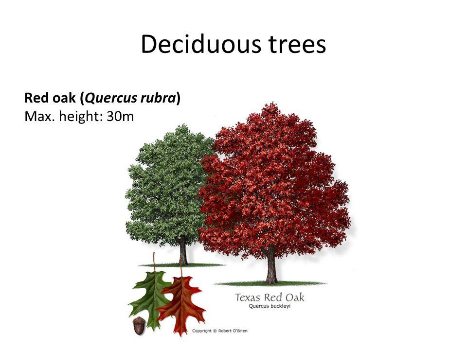 Deciduous trees Red oak (Quercus rubra) Max. height: 30m