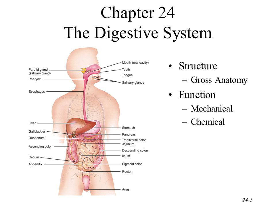 24-32 Intestinal Phase = Stomach Emptying Stretch receptors in duodenum slow stomach activity & increase intestinal activity Distension, fatty acids or sugar signals medulla –sympathetic nerves slow stomach activity Hormonal influences –secretin hormone decreases stomach secretions –cholecystokinin(CCK) decreases stomach emptying –gastric inhibitory peptide(GIP) decreases stomach secretions, motility & emptying
