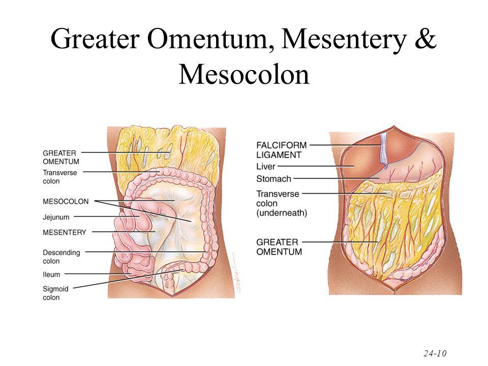 Mesentery  amp Mesocol...