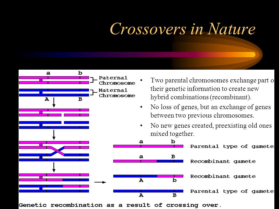 Crossovers in Nature Two parental chromosomes exchange part of their genetic information to create new hybrid combinations (recombinant).