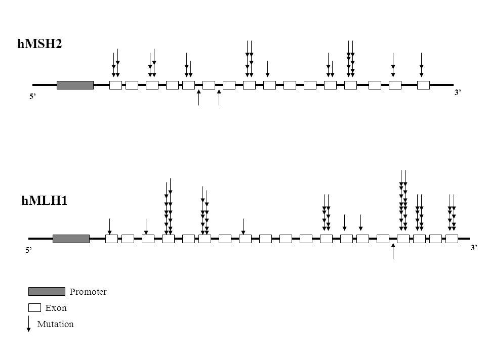 5' 3' hMSH2 hMLH1 Promoter Exon Mutation