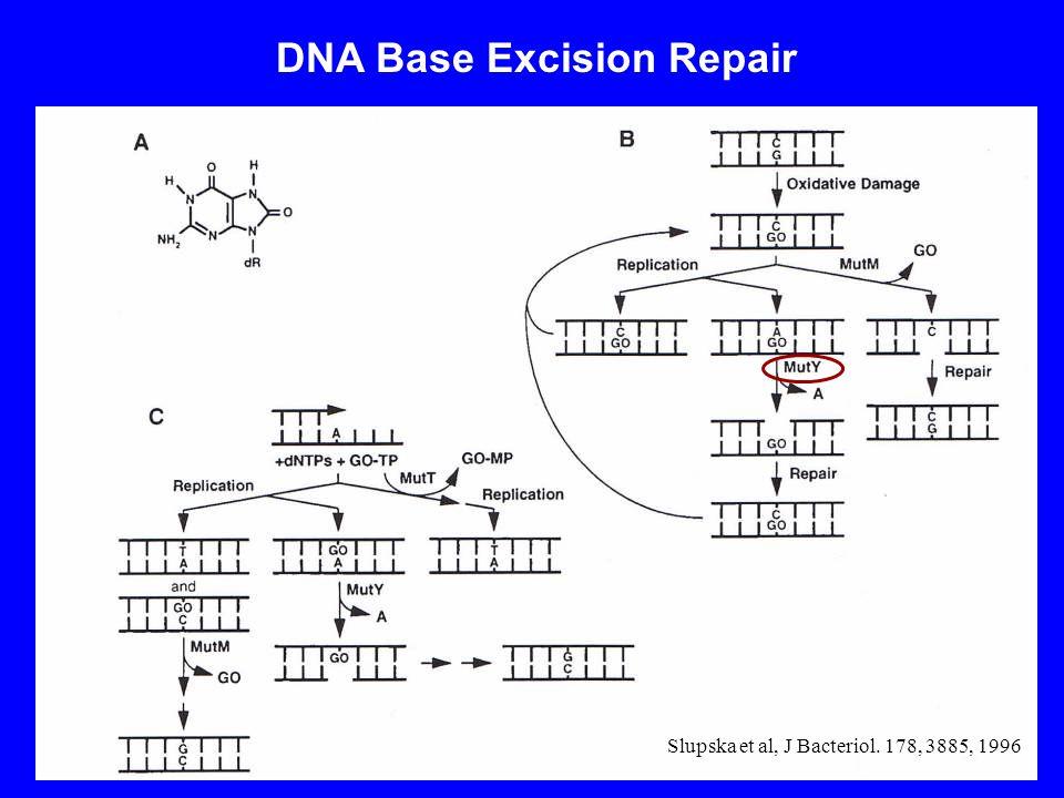 DNA Base Excision Repair Slupska et al, J Bacteriol. 178, 3885, 1996