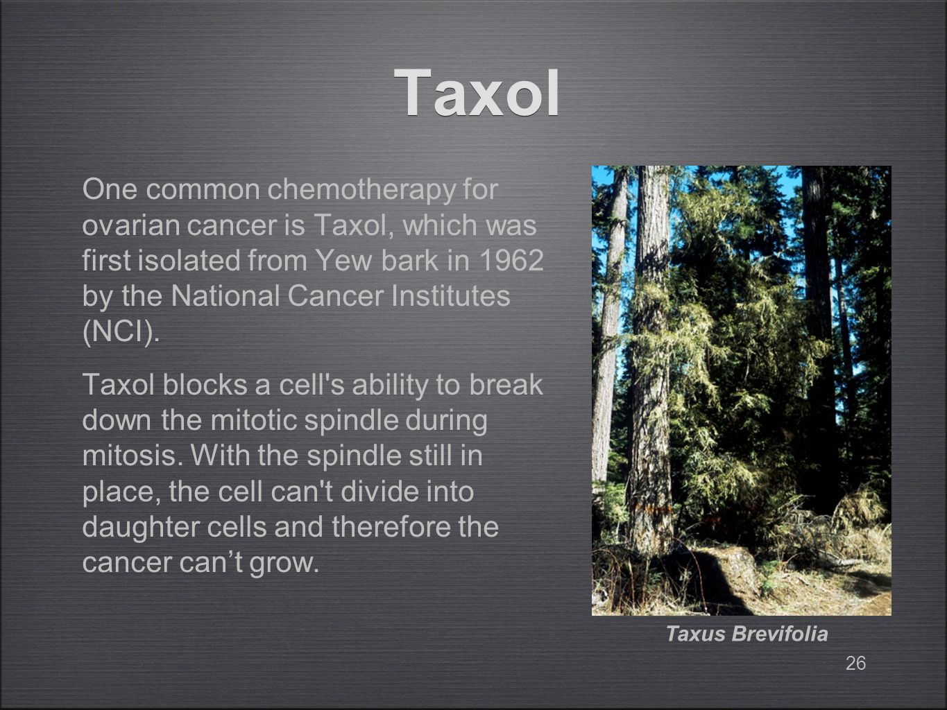 26 Taxol One common chemotherapy for ovarian cancer is Taxol, which was first isolated from Yew bark in 1962 by the National Cancer Institutes (NCI).