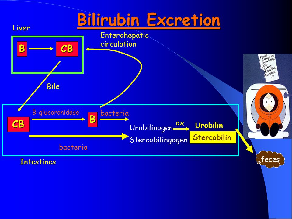 Bilirubin Excretion Intestines Liver BCB CB B Urobilinogen B-glucoronidase bacteria Bile Enterohepatic circulation ox Urobilin Stercobilin Stercobilin