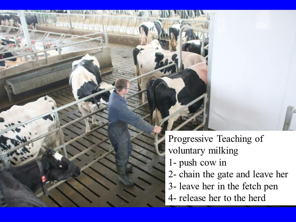 Progressive Teaching of voluntary milking 1- push cow in 2- chain the gate and leave her 3- leave her in the fetch pen 4- release her to the herd