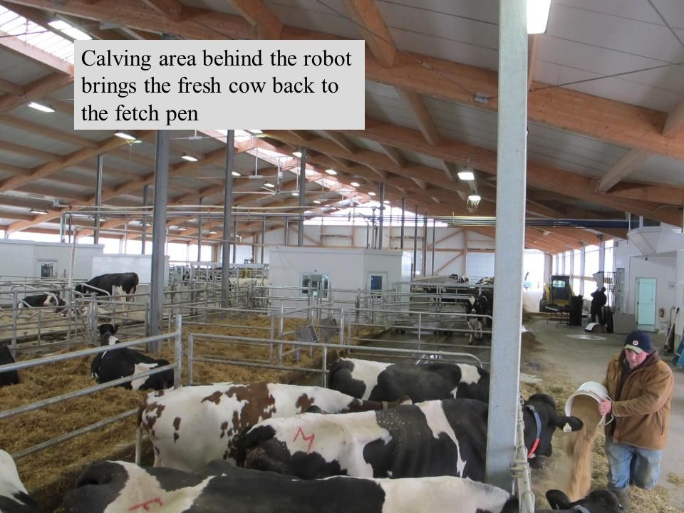 Calving area behind the robot brings the fresh cow back to the fetch pen