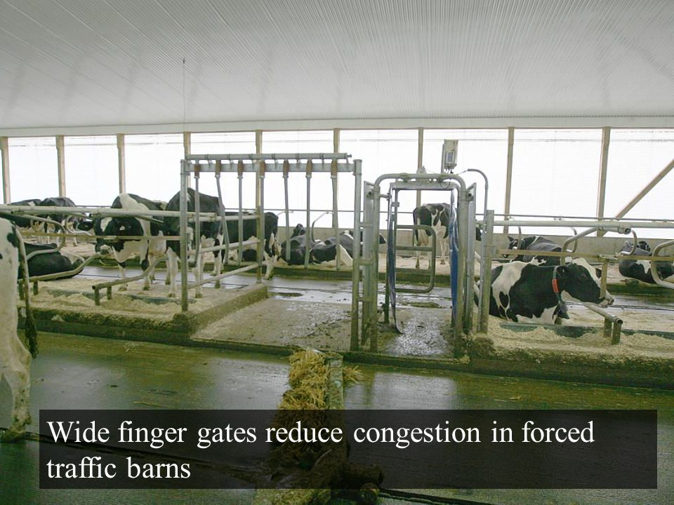 Wide finger gates reduce congestion in forced traffic barns