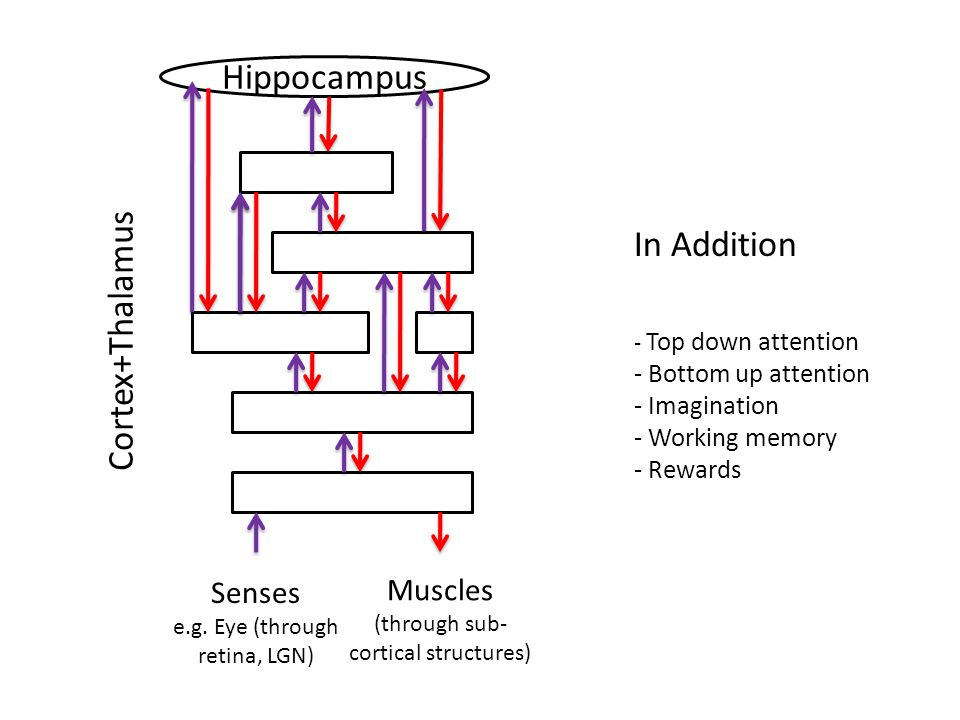 Senses e.g. Eye (through retina, LGN) Muscles (through sub- cortical structures) Hippocampus Cortex+Thalamus In Addition - Top down attention - Bottom