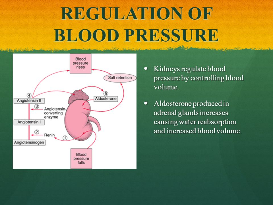 REGULATION OF BLOOD PRESSURE Kidneys regulate blood pressure by controlling blood volume.