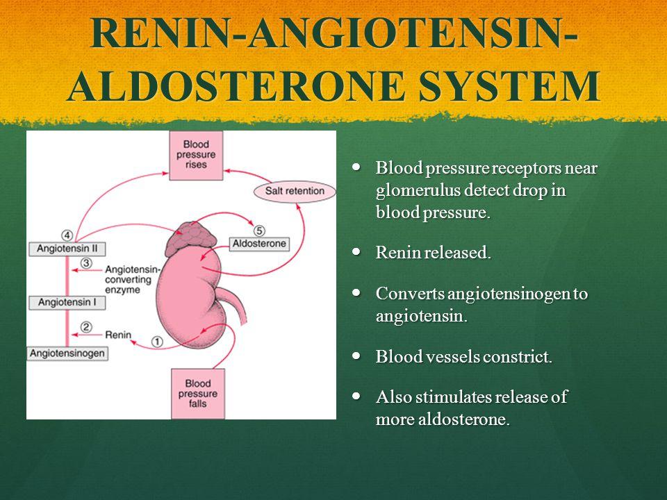 RENIN-ANGIOTENSIN- ALDOSTERONE SYSTEM Blood pressure receptors near glomerulus detect drop in blood pressure.