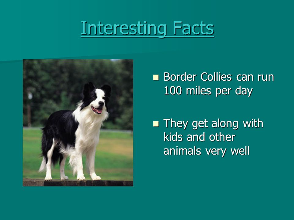 Health Adult Border Collies need 2 meals per day Adult Border Collies need 2 meals per day Puppies need 3- 4 meals per day Puppies need 3- 4 meals per day