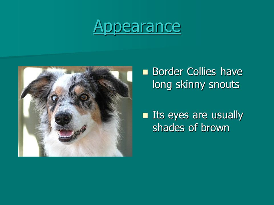 History Border Collies have been around for over 100 years Border Collies have been around for over 100 years Some of its ancestors lived in the 1550's Some of its ancestors lived in the 1550's