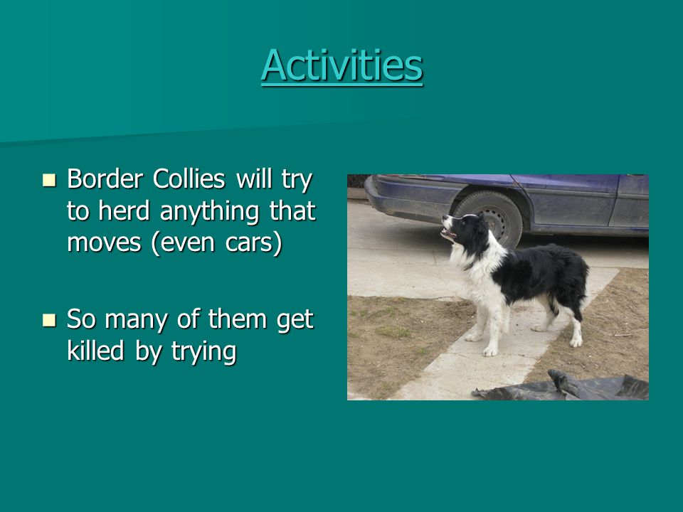 Activities Border Collies are excellent herding dogs Border Collies are excellent herding dogs They can herd in all types of weather and on all terrain They can herd in all types of weather and on all terrain