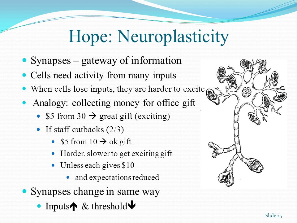 Hope: Neuroplasticity Synapses – gateway of information Cells need activity from many inputs When cells lose inputs, they are harder to excite Analogy: collecting money for office gift $5 from 30  great gift (exciting) If staff cutbacks (2/3) $5 from 10  ok gift.