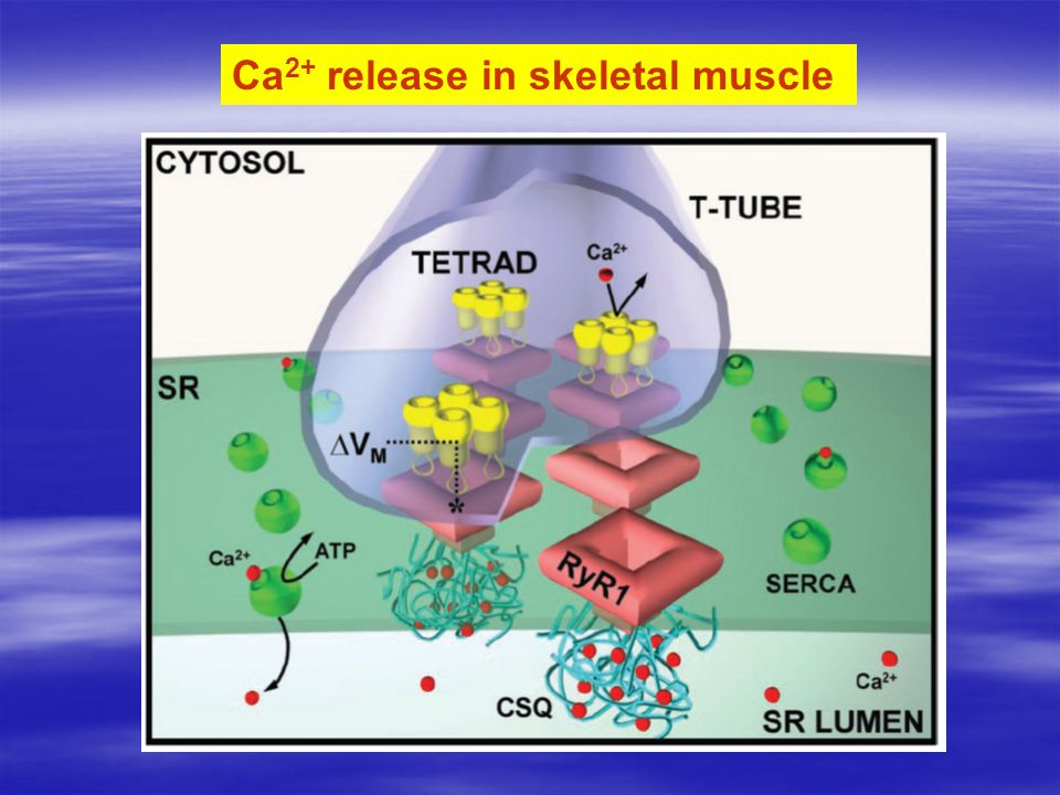 Ca 2+ release in skeletal muscle