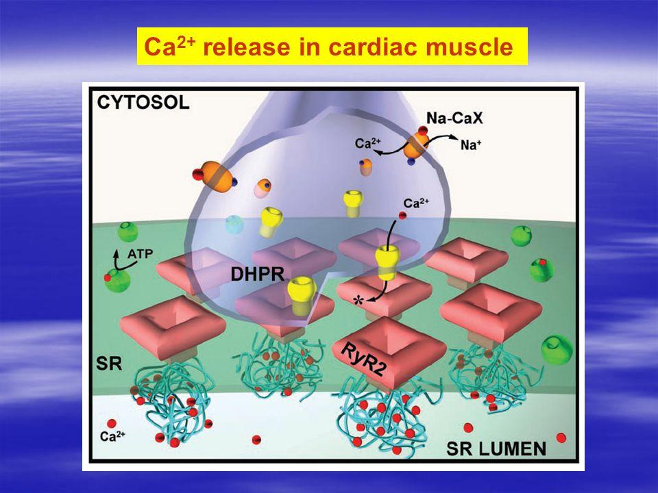 Ca 2+ release in cardiac muscle