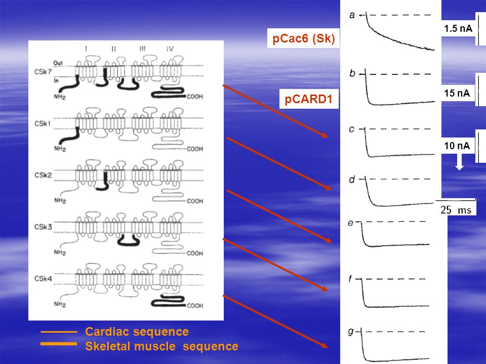 1.5 nA 15 nA 10 nA Cardiac sequence Skeletal muscle sequence pCac6 (Sk) pCARD1