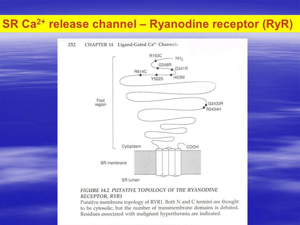 SR Ca 2+ release channel – Ryanodine receptor (RyR)