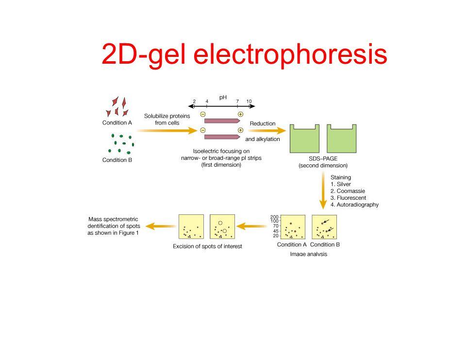 2D-gel electrophoresis